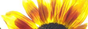 Sonnenblumenblüten